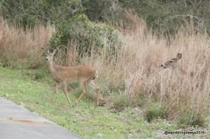 Deer at Goose Island State Park