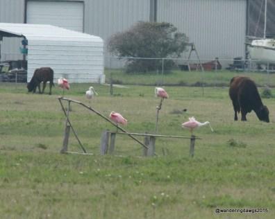 Roseate Spoonbills in farmers field
