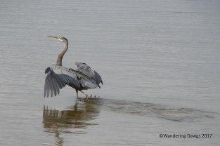 Great Blue Heron on Harry Truman Lake
