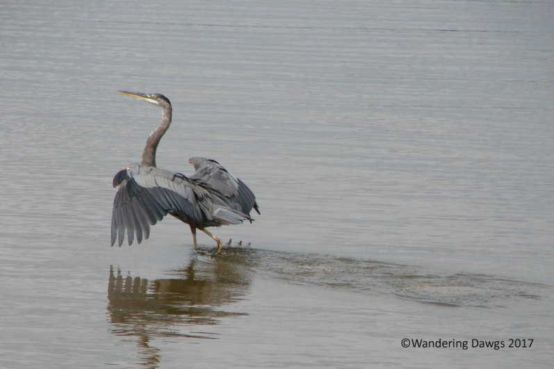 Great Blue Heron on Harry Truman Lake