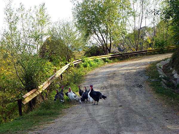 Turkeys in Romania
