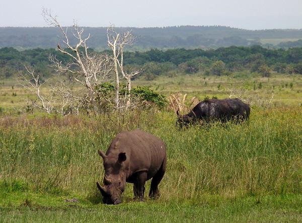 Rhinoceros in South Africa