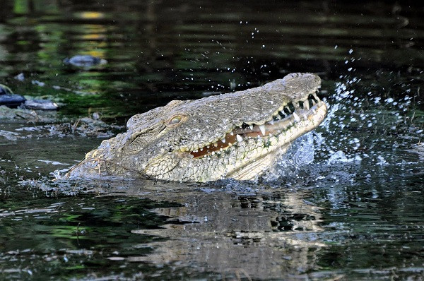 Crocodile in St. Lucia, South Africa