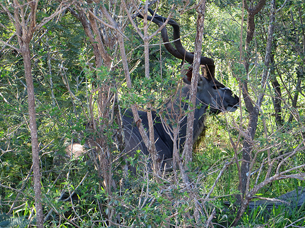 Nyala at Thornybush