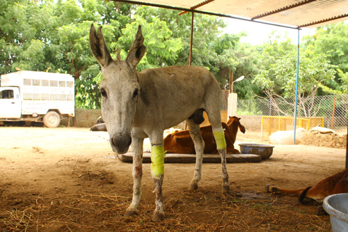 Lancelot the donkey