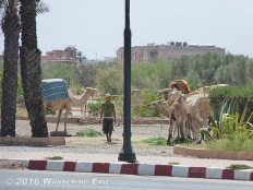 20100829.camels-on-the-side-of-the-road
