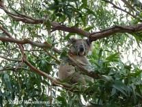 20110518_koala-s-just-chillin