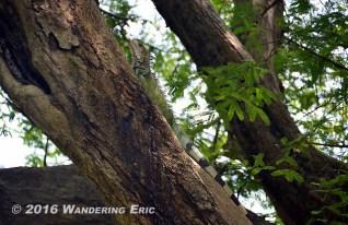 20140809_big-iguana