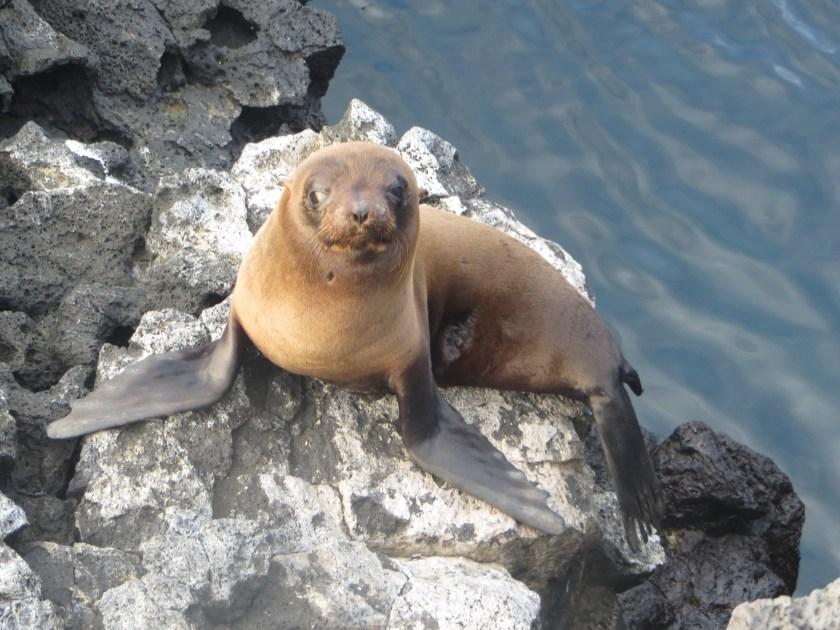 Baby Sea Lion Galapagos Ecuador