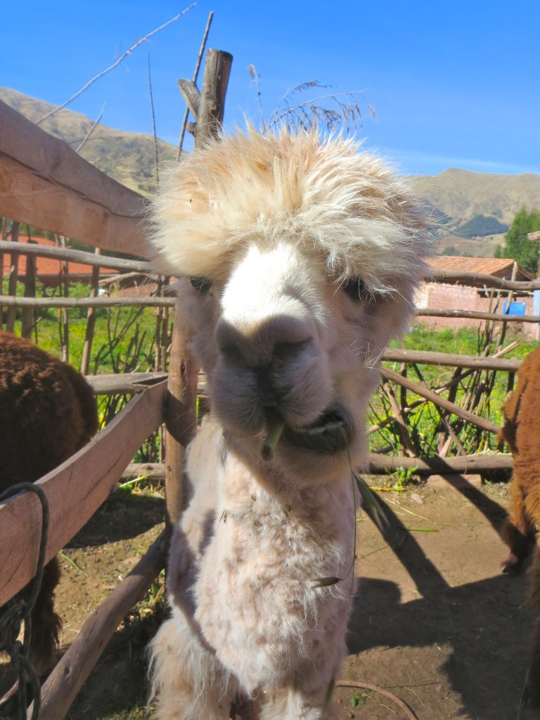 Llama Peru TRLT