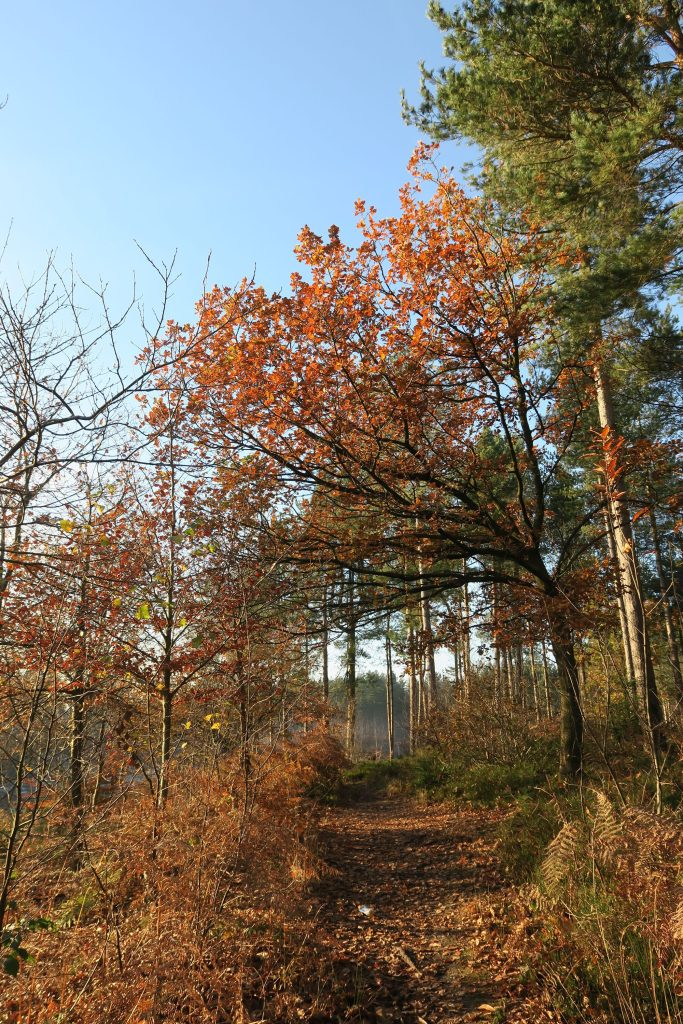 Delamere Forest Autumn leaves