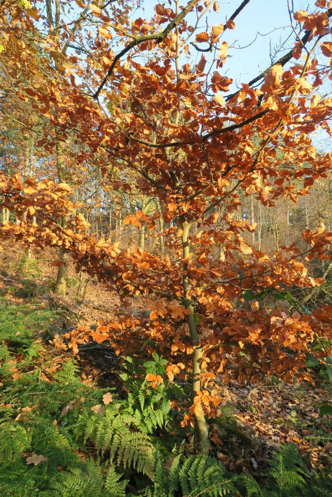 Golden autumn leaves Delamere Forest