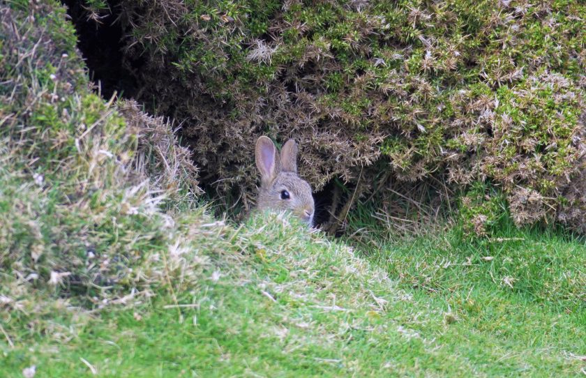 Easter Bunny at The Great Orme North Wales