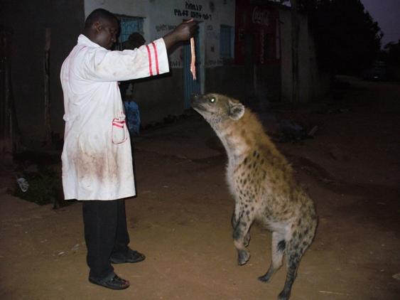 Butcher feeds hyena