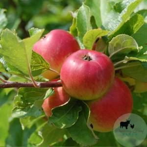 This winter prune fruit trees for a healthier harvest in the summer with these three basic tricks. Applies to apples, plums, pears and peach trees.