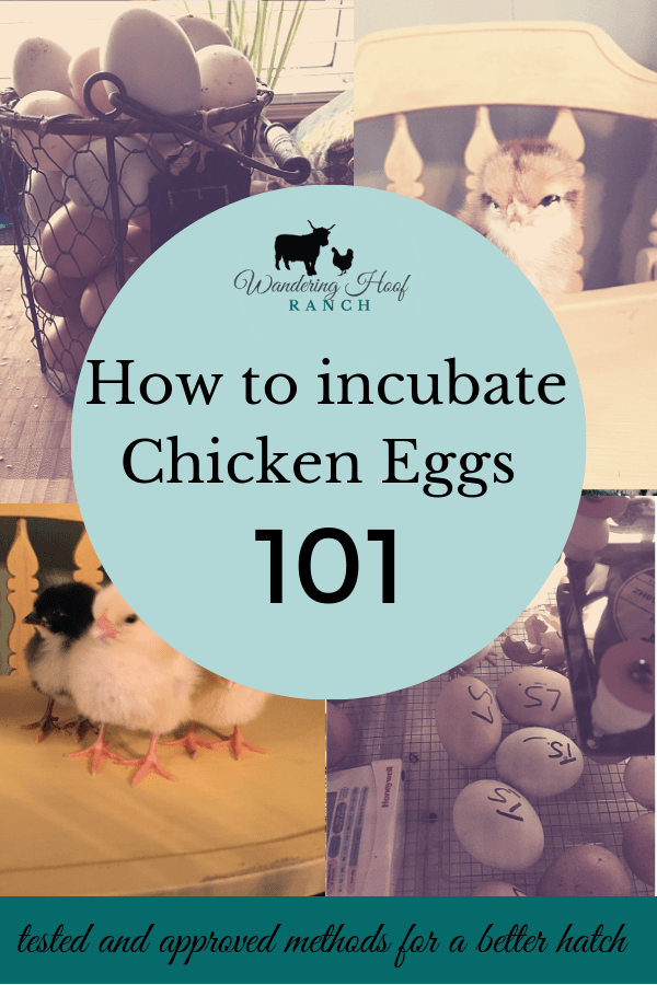 A how to incubate chicken eggs at home or in the classroom with kids to hatch baby chickens straight forward guide perfect for beginners. A fun activity when starting a backyard flock of chickens.