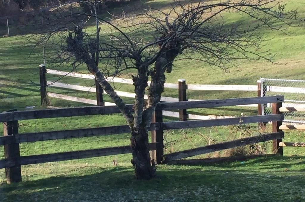 Prune fruit trees this winter