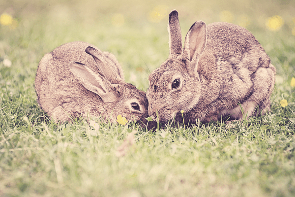 two bunnies in a filed of grass eating flowers.