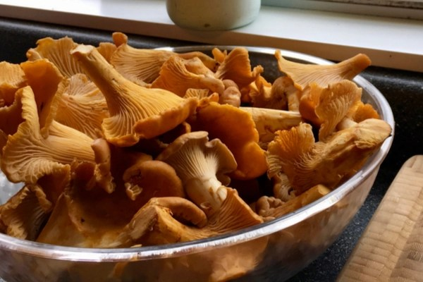 chanterelle mushrooms in a bowl