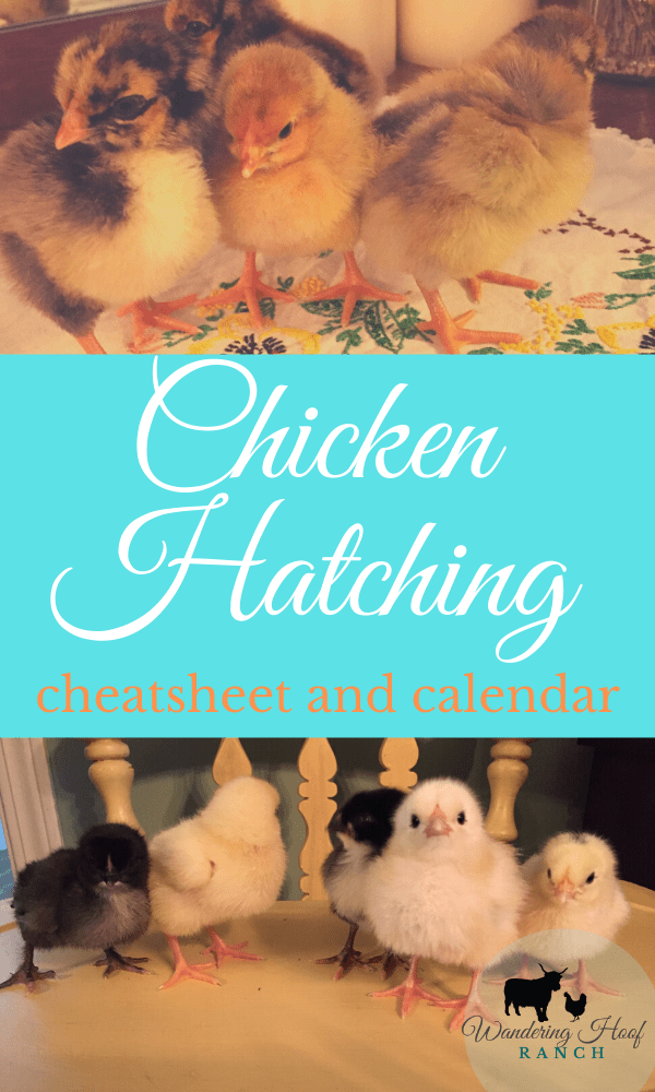 chicken hatching and free printable cheatsheet and calendar