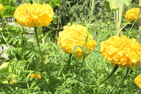 giant marigolds in summer garden, easy flowers to seed save