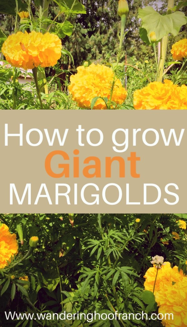 How to grow Giant Marigolds