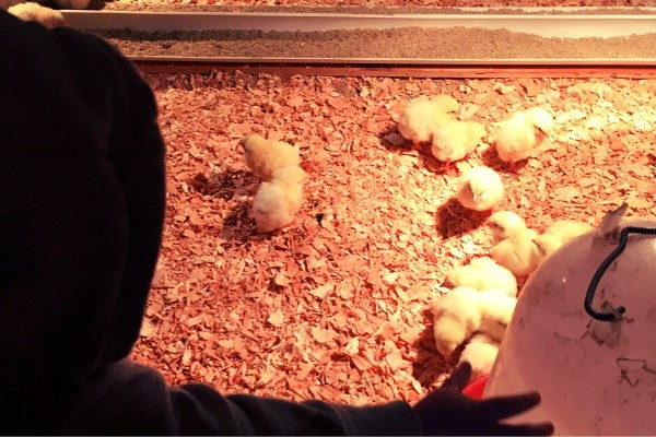 child waving at baby meat bird chicks in their brooder. Raising meat birds is an 8 week process at the least and is a great way to make money homesteading