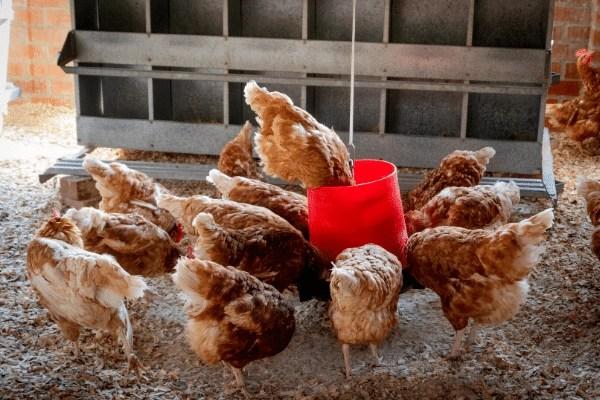 laying hens eating food