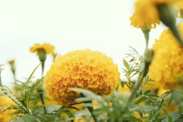 one big giant crackerjack marigold growing on a foggy day amongst other flowers