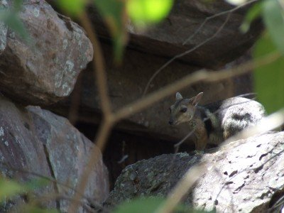 Rock wallaby at Ubirr