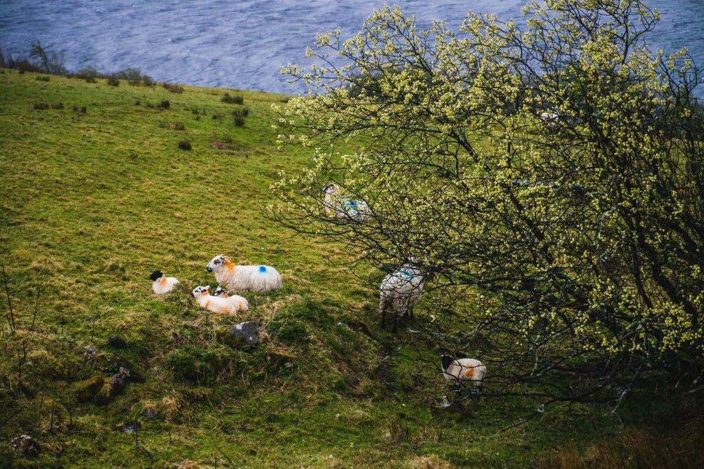 donegal sheep