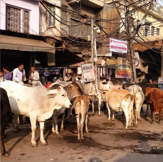 Random herd of cows in the middle of city life