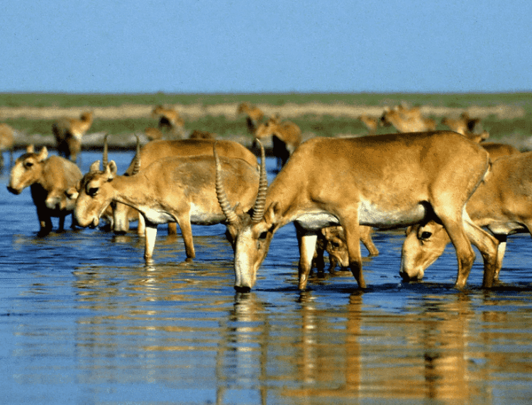 One of Elista's most special sights, is the endangered Elista antelope.