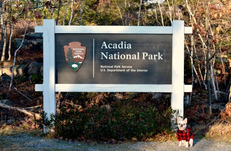 French Bulldog in Acadia National Park