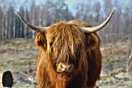 Highland Cow (hairy coo), Scotland, UK (found on Google)