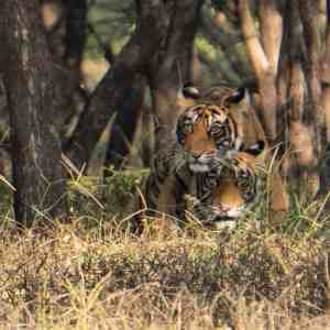 Two tiger cubs on a Ranthambore tiger safari