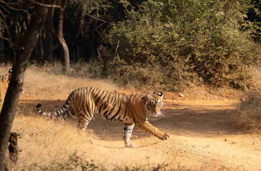 A tiger safari is a magical Indian experience