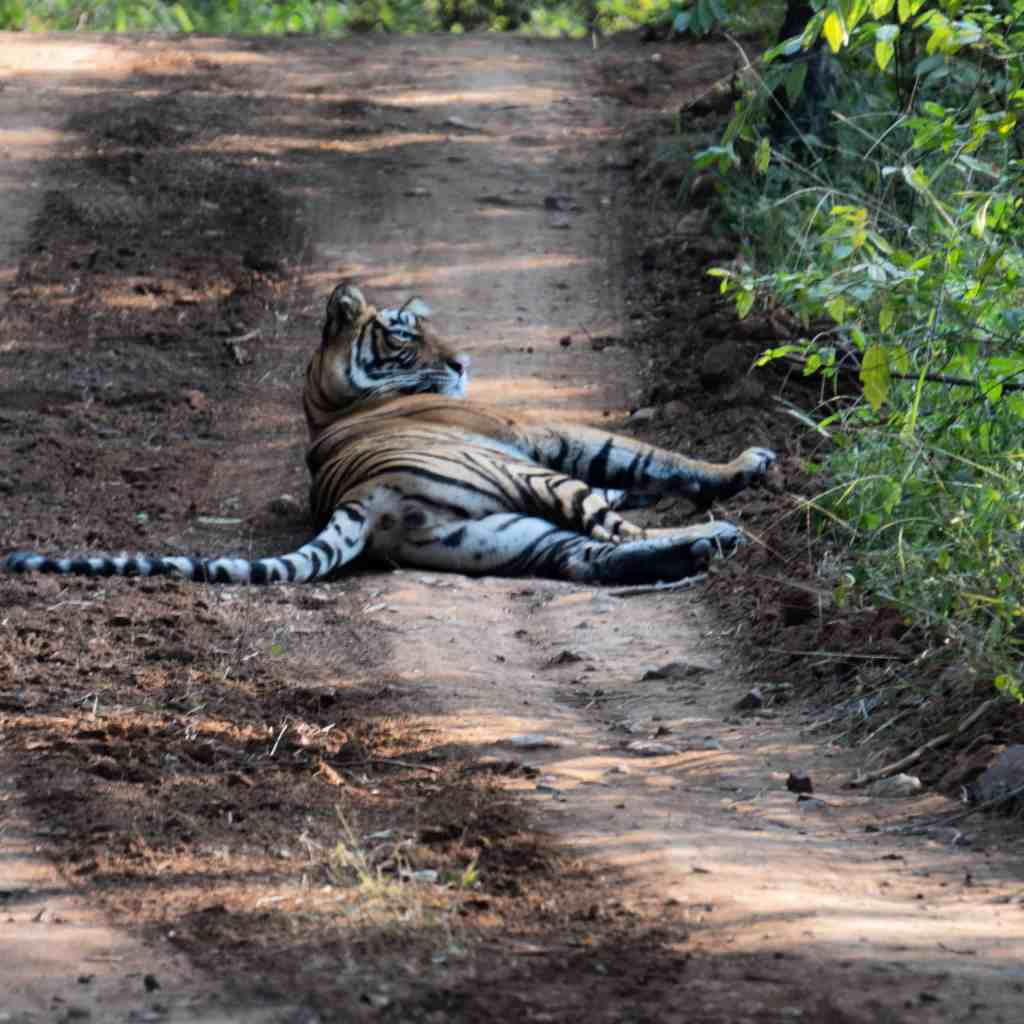 First tiger spotted on my Ranthambore tiger safari
