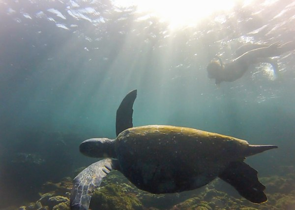 Sea Turtle in the Galapagos, Ecuador by Wandering Wheatleys