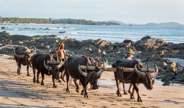 Water Buffalo on Ngapali Beach, Myanmar by Wandering Wheatleys
