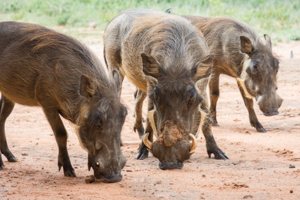 Warthogs in Okonjima Nature Reserve, Namibia by Wandering Wheatleys