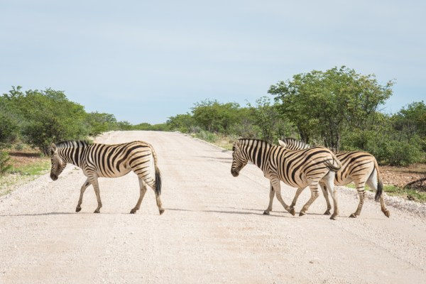 Zebras in Etosha National Park, Namibia by Wandering Wheatleys