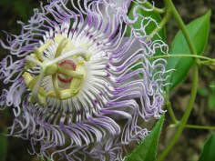 Passion Flower, Buffalo River Trail AR