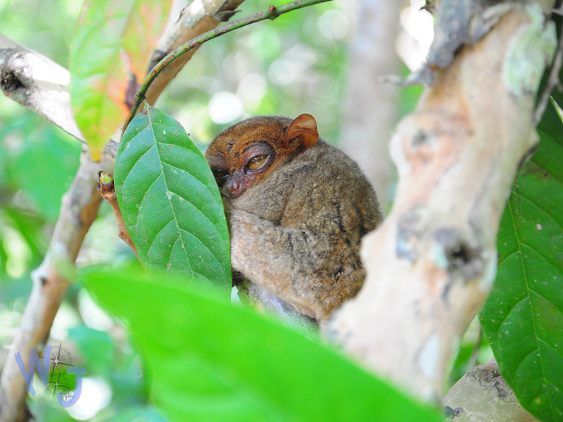 Tarsier of Loboc