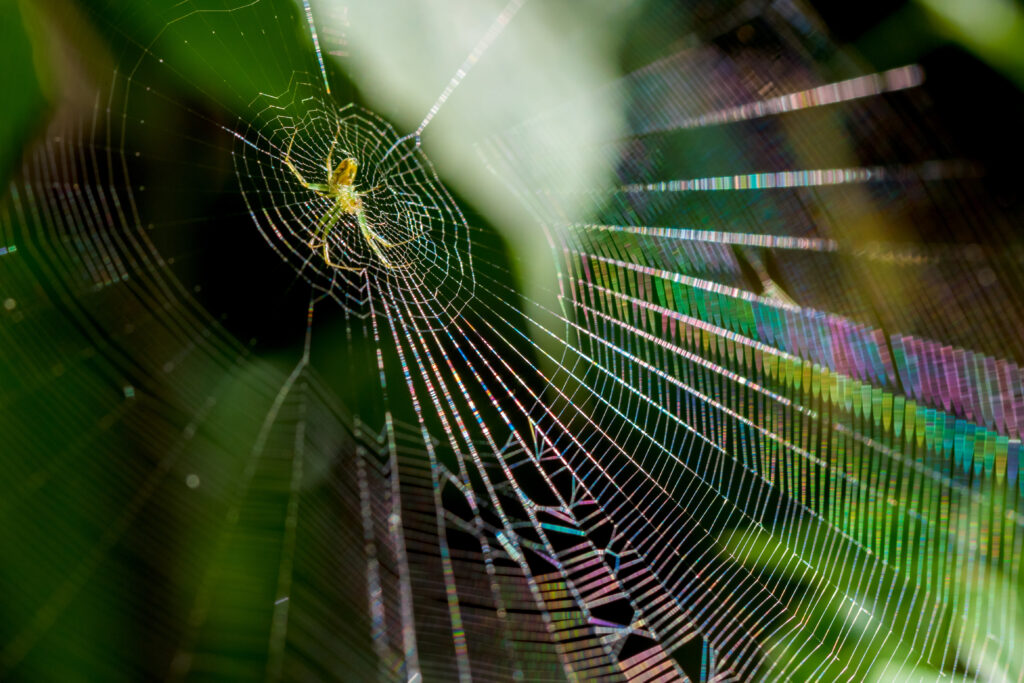 Green spider on iridescent web by kelly Verdeck