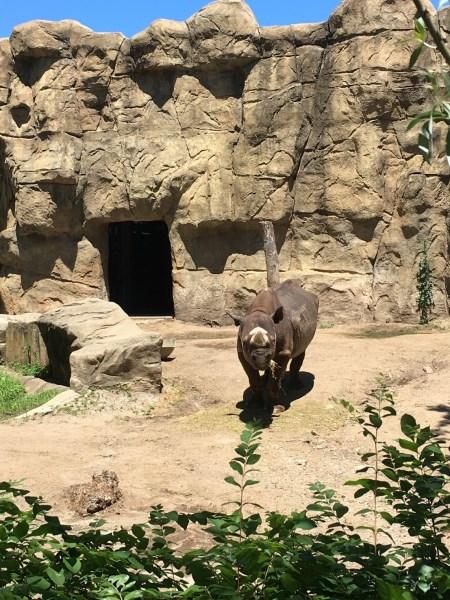 Rhino at Chicago Zoo