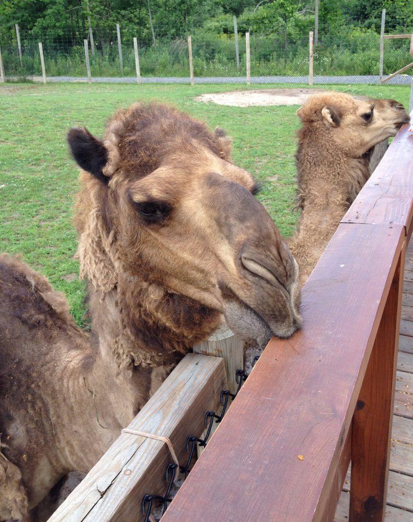 The Wild - Camel