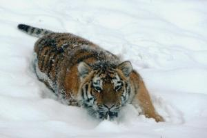 Winter Zoo - Tiger