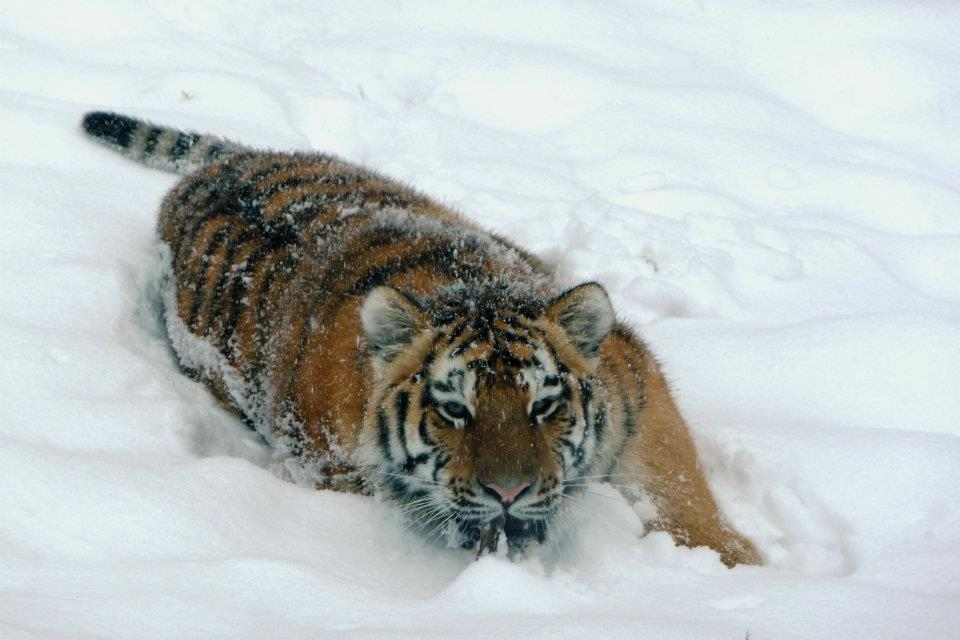 Winter Zoo - Tiger