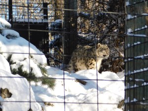 Winter Zoo - Snow Leopard